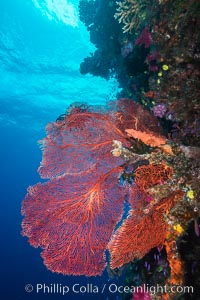 Plexauridae sea fan or gorgonian on coral reef.  This gorgonian is a type of colonial alcyonacea soft coral that filters plankton from passing ocean currents, Gorgonacea, Plexauridae, Namena Marine Reserve, Namena Island, Fiji