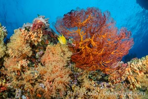 Sea fan gorgonian and dendronephthya soft coral on coral reef.  Both the sea fan gorgonian and the dendronephthya  are type of alcyonacea soft corals that filter plankton from passing ocean currents. Fiji, Dendronephthya, Gorgonacea, natural history stock photograph, photo id 31444