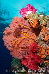 Sea fan gorgonian and dendronephthya soft coral on coral reef.  Both the sea fan gorgonian and the dendronephthya  are type of alcyonacea soft corals that filter plankton from passing ocean currents, Dendronephthya, Gorgonacea, Plexauridae