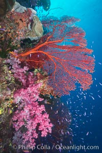 Sea fan gorgonian and dendronephthya soft coral on coral reef.  Both the sea fan gorgonian and the dendronephthya  are type of alcyonacea soft corals that filter plankton from passing ocean currents, Dendronephthya, Pseudanthias, Gorgonacea, Plexauridae, Namena Marine Reserve, Namena Island, Fiji