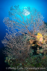 Sea fan gorgonian on coral reef, Grand Cayman Island. Grand Cayman, Cayman Islands, natural history stock photograph, photo id 32121