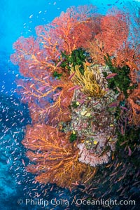 Sea fan gorgonian and schooling Anthias on pristine and beautiful coral reef, Fiji, Pseudanthias, Gorgonacea, Wakaya Island, Lomaiviti Archipelago