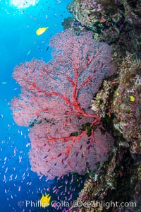 Plexauridae sea fan gorgonian and schooling Anthias on pristine and beautiful coral reef, Fiji. Wakaya Island, Lomaiviti Archipelago, Fiji, Pseudanthias, Gorgonacea, Plexauridae, natural history stock photograph, photo id 31350