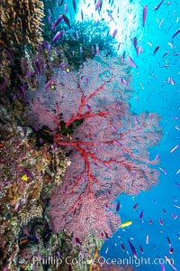 Sea fan gorgonian and schooling Anthias on pristine and beautiful coral reef, Fiji. Wakaya Island, Lomaiviti Archipelago, Fiji, Pseudanthias, Gorgonacea, natural history stock photograph, photo id 31397