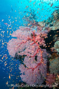 Sea fan gorgonian and schooling Anthias on pristine and beautiful coral reef, Fiji, Pseudanthias, Gorgonacea, Plexauridae