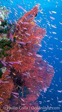 Sea fan gorgonian and schooling Anthias on pristine and beautiful coral reef, Fiji. Wakaya Island, Lomaiviti Archipelago, Fiji, Pseudanthias, Gorgonacea, Plexauridae, natural history stock photograph, photo id 31539