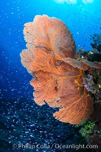 Plexauridae sea fan gorgonian and schooling Anthias on pristine and beautiful coral reef, Fiji, Pseudanthias, Gorgonacea, Plexauridae, Wakaya Island, Lomaiviti Archipelago