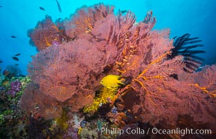Plexauridae sea fan gorgonian and schooling Anthias on pristine and beautiful coral reef, Fiji, Gorgonacea, Plexauridae