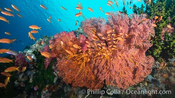 Plexauridae sea fan gorgonian and schooling Anthias on pristine and beautiful coral reef, Fiji, Pseudanthias, Gorgonacea, Plexauridae