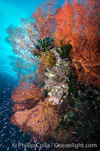Sea fan gorgonian and schooling Anthias on pristine and beautiful coral reef, Fiji, Pseudanthias, Gorgonacea, Plexauridae, Wakaya Island, Lomaiviti Archipelago