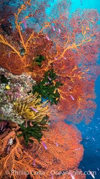 Sea fan gorgonian and schooling Anthias on pristine and beautiful coral reef, Fiji, Pseudanthias, Crinoidea, Gorgonacea, Plexauridae, Wakaya Island, Lomaiviti Archipelago