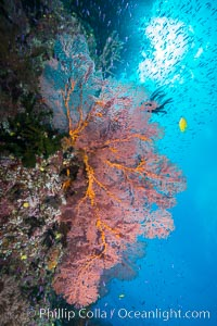 Sea fan gorgonian and schooling Anthias on pristine and beautiful coral reef, Fiji, Gorgonacea, Plexauridae, Wakaya Island, Lomaiviti Archipelago