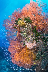 Sea fan gorgonian and schooling Anthias on pristine and beautiful coral reef, Fiji, Pseudanthias, Gorgonacea, Plexauridae, Wakaya Island, Lomaiviti Archipelago
