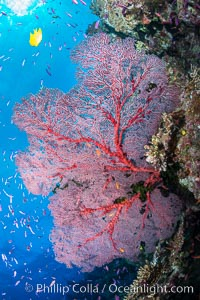Plexauridae sea fan gorgonian and schooling Anthias on pristine and beautiful coral reef, Fiji, Pseudanthias, Gorgonacea, Plexauridae, Wakaya Island, Lomaiviti Archipelago