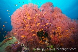 Plexauridae sea fan gorgonian and schooling Anthias on pristine and beautiful coral reef, Fiji, Pseudanthias, Gorgonacea, Plexauridae