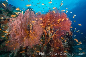 Sea fan gorgonian and schooling lyretail Anthias on pristine and beautiful coral reef, Fiji, Pseudanthias, Gorgonacea, Plexauridae, Vatu I Ra Passage, Bligh Waters, Viti Levu  Island