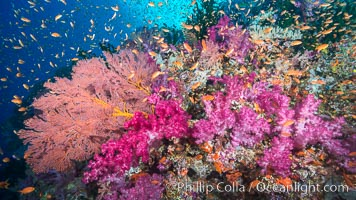 Beautiful South Pacific coral reef, with gorgonian sea fans, schooling anthias fish and colorful dendronephthya soft corals, Fiji. Vatu I Ra Passage, Bligh Waters, Viti Levu  Island, Fiji, Dendronephthya, Pseudanthias, Gorgonacea, natural history stock photograph, photo id 31330