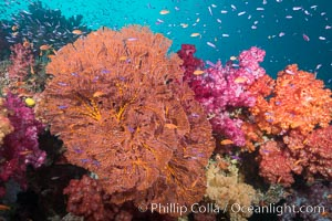 Beautiful South Pacific coral reef, with gorgonian sea fans, schooling anthias fish and colorful dendronephthya soft corals, Fiji, Dendronephthya, Gorgonacea, Pseudanthias, Gau Island, Lomaiviti Archipelago