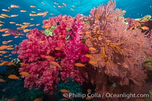 Beautiful South Pacific coral reef, with gorgonian sea fans, schooling anthias fish and colorful dendronephthya soft corals, Fiji, Dendronephthya, Pseudanthias, Gorgonacea, Plexauridae