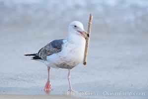 Sea gull carries a stick around the beach, La Jolla, California