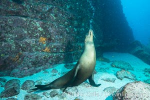 Sea lion blowing underwater bubbles as it stands on its flippers, Zalophus californianus, Sea of Cortez