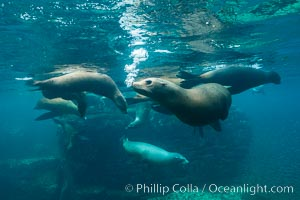 Sea lion harem of females, underwater. Sea of Cortez, Baja California, Mexico, Zalophus californianus, natural history stock photograph, photo id 31228