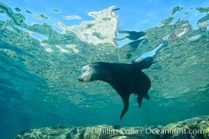 Sea Lion, Los Islotes, Sea of Cortez. Los Islotes, Baja California, Mexico, natural history stock photograph, photo id 32492
