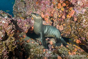 Sea Lion, Los Islotes, Sea of Cortez