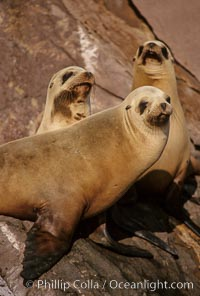 California sea lions, Coronado Islands, Zalophus californianus, Coronado Islands (Islas Coronado)
