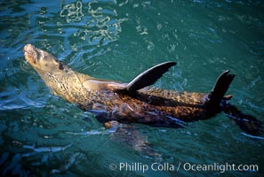 California sea lion, thermoregulating, Zalophus californianus, Monterey