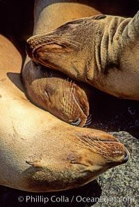 California sea lions, resting / hauled out, Zalophus californianus, Monterey