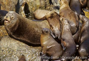 California sea lion colony, Zalophus californianus, Monterey