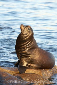 California sea lion, adult male, hauled out on rocks to rest, early morning sunrise light, Monterey breakwater rocks, Zalophus californianus