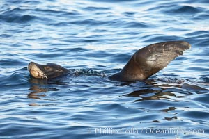 California sea lion, regulating its temperature (thermoregulating) by raising its foreflipper out of the water as it rests and floats, Monterey breakwater rocks, Zalophus californianus