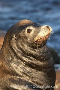 California sea lion, adult male, profile of head showing long whiskers and prominent sagittal crest (cranial crest bone), hauled out on rocks to rest, early morning sunrise light, Monterey breakwater rocks. Monterey, California, USA, Zalophus californianus, natural history stock photograph, photo id 21582