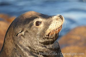 California sea lion, adult male, profile of head showing long whiskers and prominent sagittal crest (cranial crest bone), hauled out on rocks to rest, early morning sunrise light, Monterey breakwater rocks, Zalophus californianus