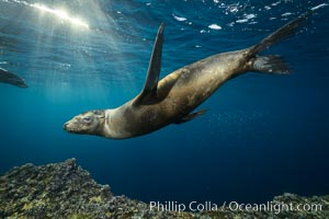 Sea lion underwater in beautiful sunset light, Zalophus californianus, Sea of Cortez
