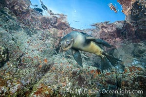 Sea Lion Underwater, Los Islotes, Sea of Cortez. Los Islotes, Baja California, Mexico, natural history stock photograph, photo id 32488
