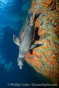 Sea Lion Underwater, Los Islotes, Sea of Cortez. Los Islotes, Baja California, Mexico, natural history stock photograph, photo id 32490