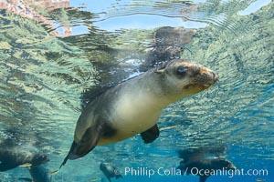 Sea Lion Underwater, Los Islotes, Sea of Cortez. Los Islotes, Baja California, Mexico, natural history stock photograph, photo id 32494