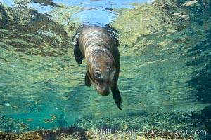 Sea Lion Underwater, Los Islotes, Sea of Cortez. Los Islotes, Baja California, Mexico, natural history stock photograph, photo id 32499
