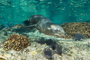 Sea Lion Underwater, Los Islotes, Sea of Cortez. Los Islotes, Baja California, Mexico, natural history stock photograph, photo id 32504