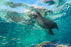 Sea Lion Underwater, Los Islotes, Sea of Cortez