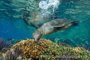 Sea Lion Underwater, Los Islotes, Sea of Cortez. Los Islotes, Baja California, Mexico, natural history stock photograph, photo id 32522