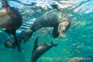 California sea lion underwater, Sea of Cortez, Mexico