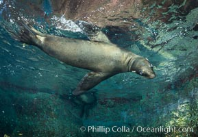 California sea lion underwater, Sea of Cortez, Mexico