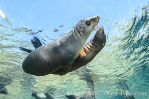 Sea Lions playing in shallow water, Los Islotes, Sea of Cortez. Los Islotes, Baja California, Mexico, natural history stock photograph, photo id 32495