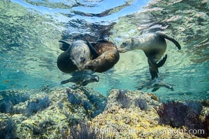 Sea Lions playing in shallow water, Los Islotes, Sea of Cortez. Los Islotes, Baja California, Mexico, natural history stock photograph, photo id 32496