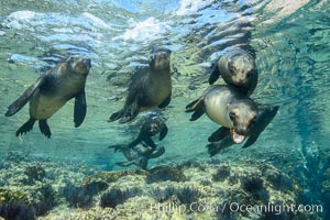 Sea Lions playing in shallow water, Los Islotes, Sea of Cortez. Los Islotes, Baja California, Mexico, natural history stock photograph, photo id 32497