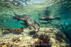 Sea Lions playing in shallow water, Los Islotes, Sea of Cortez. Los Islotes, Baja California, Mexico, natural history stock photograph, photo id 32500